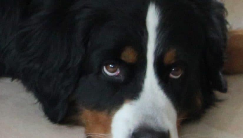 Vad är en hundpsykolog?