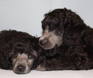 Valpkurser och hundkurser på Karisma fokuserar på relation före prestation!