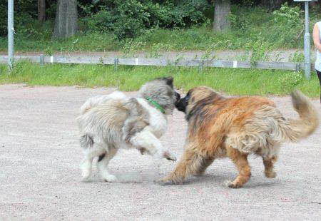 Kurs 5. Praktisk etologi - kommunikation på hundens villkor @ Karisma Hundägarutbildning | Mölndal | Västra Götalands län | Sverige