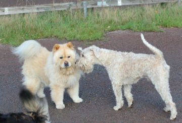 Hundar hälsar på varandra
