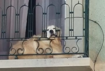 Hund på balkong