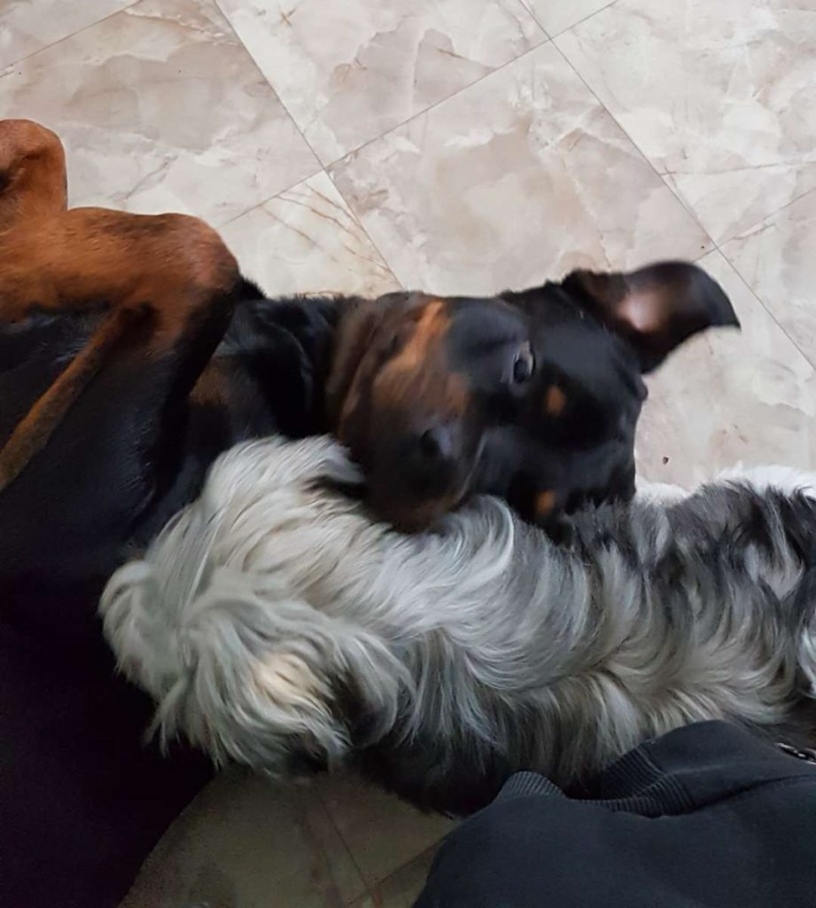 hunddagishundar