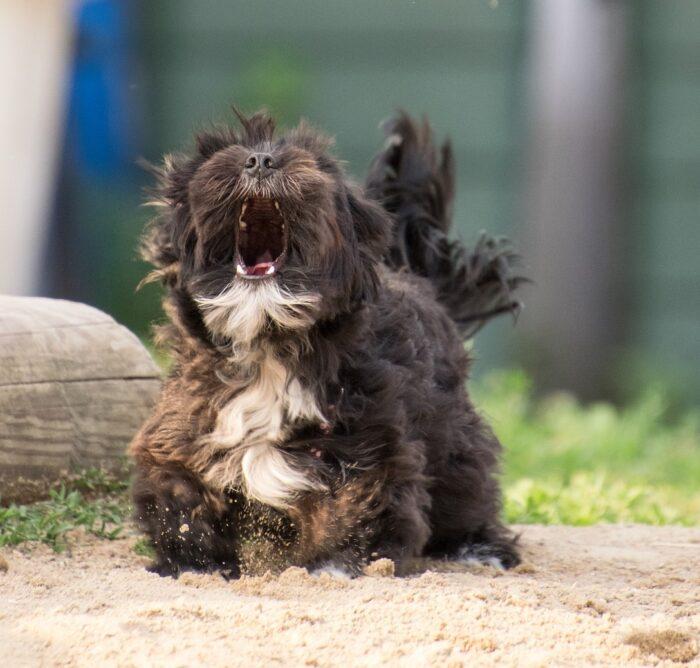 Hund som skäller